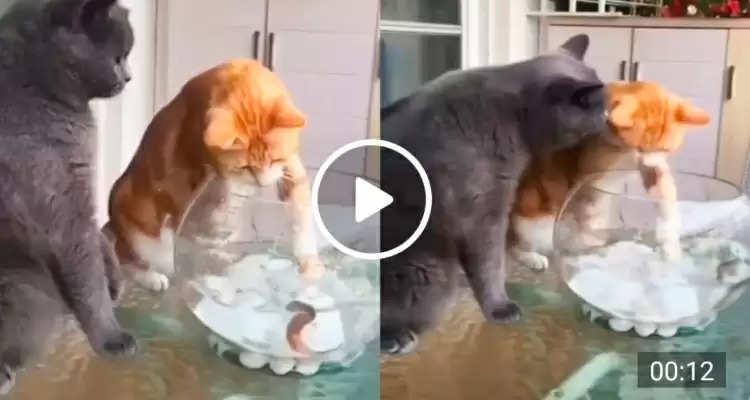 Cat vs fish