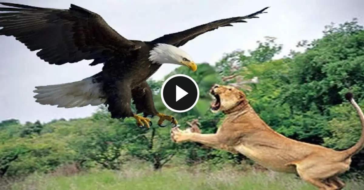 eagle and lion attcak