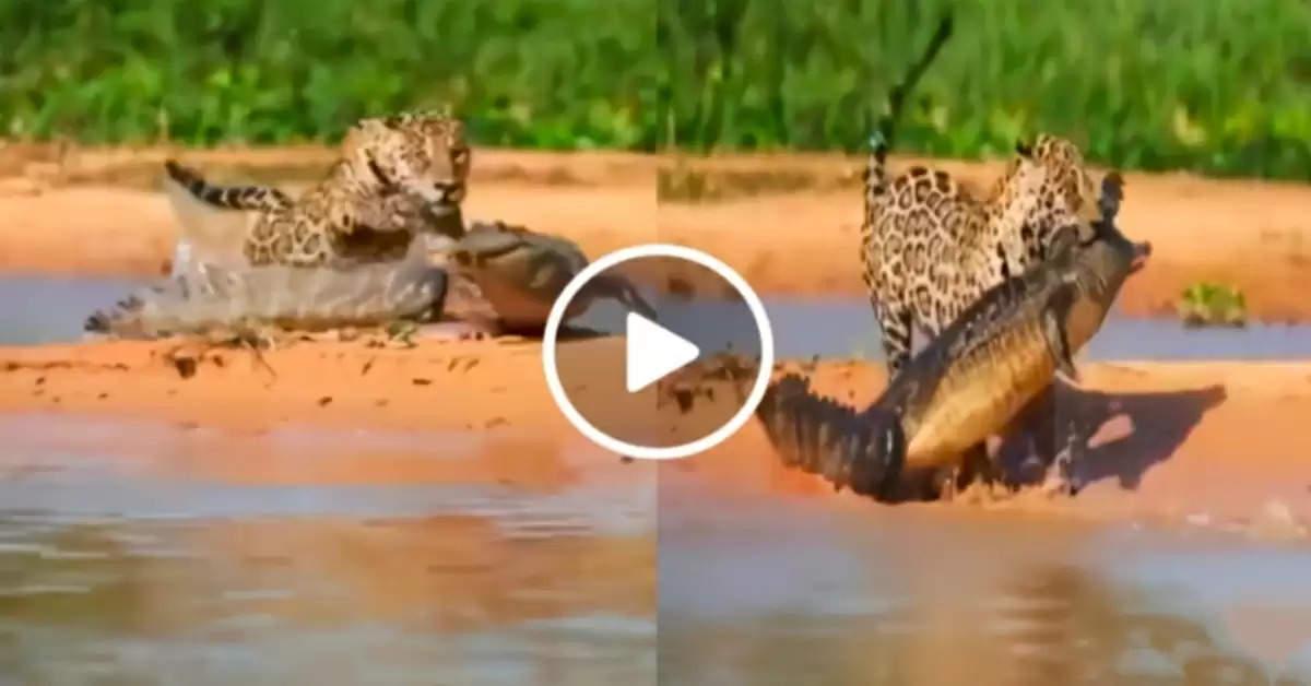 Crocodile vs cheetah