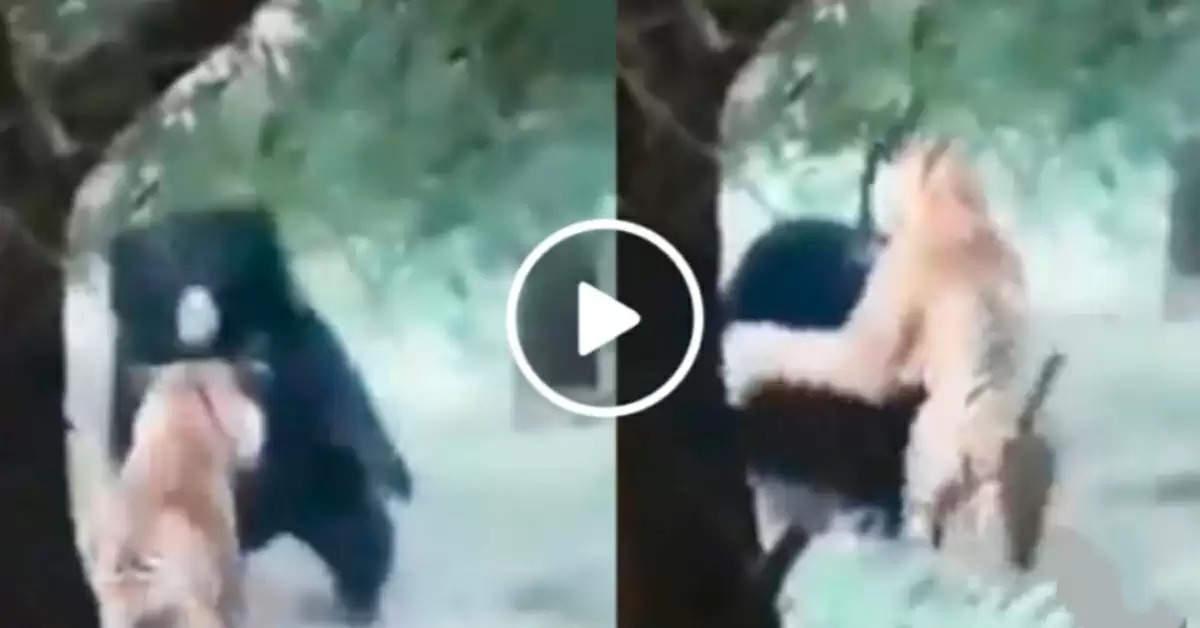 Tiger vs bear fight